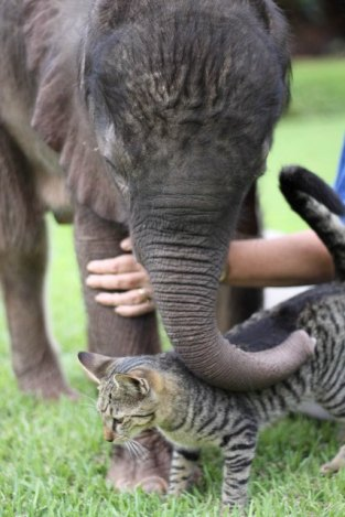 Image of a baby elephant petting a cat with his trunk.